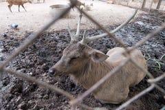 Ciervos masculinos del cerdo que ponen en fango Fotografía de archivo libre de regalías