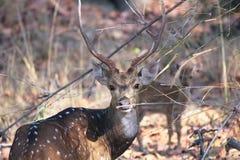 Ciervos masculinos del sika Foto de archivo