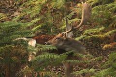 Ciervos masculinos solitarios durante la estación de acoplamiento imagenes de archivo