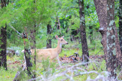 ciervos Mientras que-atados que forrajean en parque de estado de la punta de flecha en canadiense, Oklahoma Foto de archivo