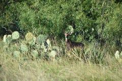 Ciervos Montana de la cola blanca Fotos de archivo libres de regalías