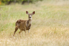 Ciervos Montana de la cola blanca Foto de archivo