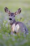 Ciervos mula en campo del trébol Fotos de archivo libres de regalías
