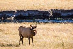 Ciervos mula en el parque nacional de Yellowstone Fotos de archivo