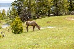 Ciervos mula en el área del oeste del pulgar Fotografía de archivo