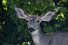 Ciervos mula jovenes Imágenes de archivo libres de regalías