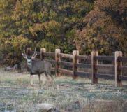 Ciervos mula jovenes Buck Poses para un retrato imagen de archivo libre de regalías
