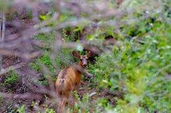 Ciervos mula jovenes de Rocky Mountain que ocultan en bosque denso de la montaña foto de archivo libre de regalías