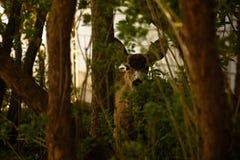Ciervos mula jovenes en árboles Imagen de archivo