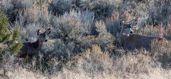 Ciervos mula viejos y jovenes Imagen de archivo libre de regalías
