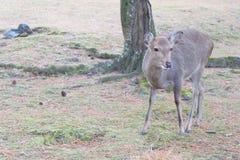 Ciervos Nara fotografía de archivo libre de regalías