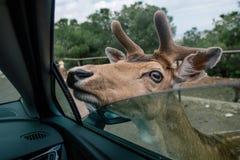Ciervos por el coche en el apulia Italia del safari del parque zoológico de Fasano foto de archivo libre de regalías