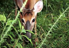 Ciervos que alimentan durante verano Imágenes de archivo libres de regalías