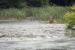 Ciervos que alimentan en las plantas acuáticas fotografía de archivo