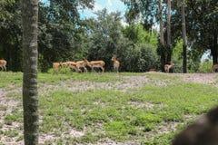 Ciervos que caminan en el parque imagenes de archivo