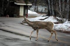 Ciervos que caminan a través del camino Imágenes de archivo libres de regalías