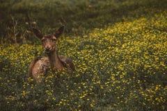 Ciervos que colocan en campo de flor imagen de archivo