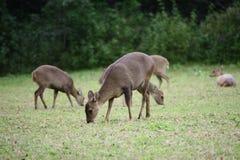 Ciervos que comen hierbas en la naturaleza Imagen de archivo libre de regalías