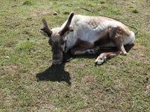 Ciervos que descansan en un prado en una granja de los ciervos, un día claro fotografía de archivo libre de regalías