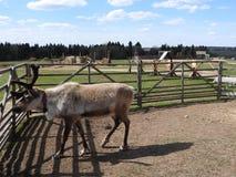 Ciervos que descansan en un prado en una granja de los ciervos, un d?a claro imágenes de archivo libres de regalías