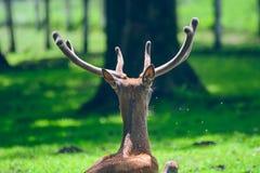 Ciervos que duermen en la hierba Foto de archivo libre de regalías