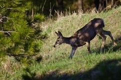 Ciervos que hacen su manera abajo de la colina en las sombras Imagen de archivo libre de regalías
