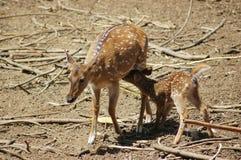 Ciervos que introducen su cervatillo Foto de archivo libre de regalías