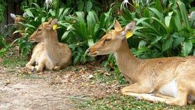 Ciervos que mienten en los arbustos en el parque zoológico abierto de Khao Kheow tailandia metrajes