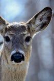 Ciervos que miran fijamente detrás la cámara Imágenes de archivo libres de regalías