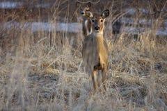 Ciervos que miran a lo largo de Forest Border Foto de archivo libre de regalías