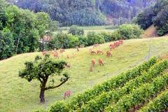 Ciervos que pastan cerca de viñedos Fotografía de archivo libre de regalías