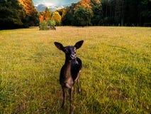 Ciervos que pastan en campo de hierba en el salvaje contra puesta del sol imagenes de archivo