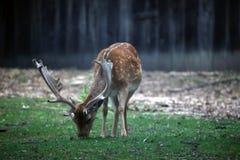 Ciervos que pastan en el bosque Foto de archivo libre de regalías