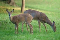 Ciervos que pastan en hierba en luz de la tarde Imagenes de archivo