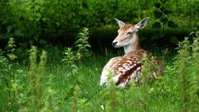 Ciervos que ponen en hierba Foto de archivo