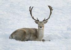 Ciervos que ponen en nieve Foto de archivo libre de regalías