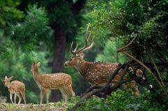 Ciervos que se colocan en el bosque Fotografía de archivo