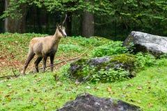 Ciervos que se colocan en medio de los cantos rodados y de la hierba Imagen de archivo libre de regalías