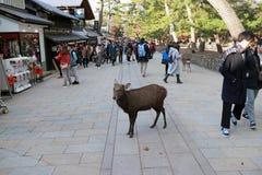 Ciervos que se colocan entre el turista en la ciudad de Nara Imágenes de archivo libres de regalías