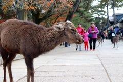 Ciervos que se colocan entre el turista en la ciudad de Nara El turista puede cerrarse y alimentar a los ciervos Fotografía de archivo libre de regalías