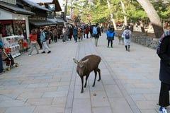 Ciervos que se colocan entre el turista en la ciudad de Nara El turista puede cl Foto de archivo libre de regalías