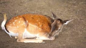 Ciervos que se relajan en el parque zoológico almacen de video