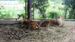 Ciervos que se relajan en el parque zoológico metrajes