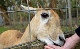 Ciervos que son mano alimentada Imágenes de archivo libres de regalías