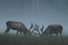 Ciervos rojos Fotografía de archivo