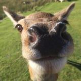 Ciervos rojos Fotos de archivo libres de regalías