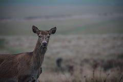 Ciervos rojos Foto de archivo