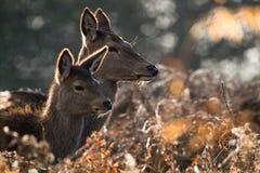 Ciervos rojos Imágenes de archivo libres de regalías