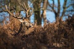 Ciervos rojos Fotografía de archivo libre de regalías