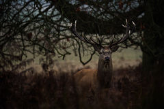 Ciervos rojos Fotos de archivo